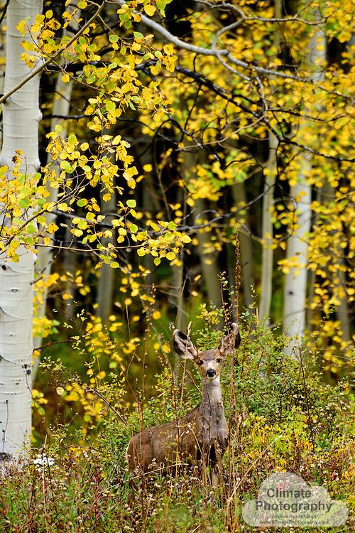 Portrait deer in aspen forest.