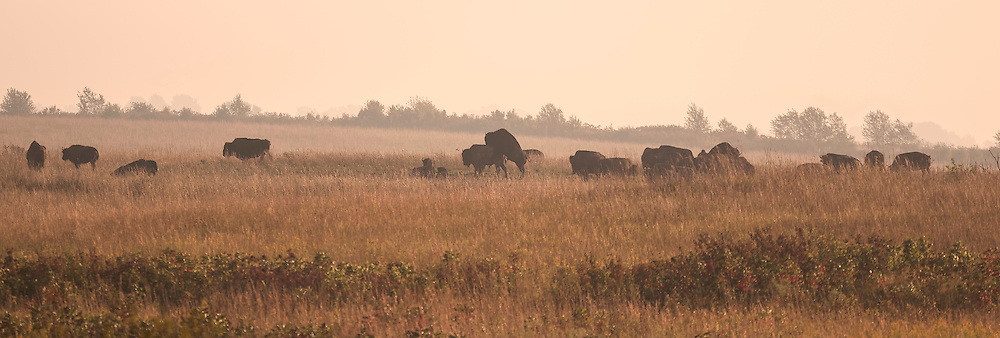 Mating pair of bison among a roaming herd on prairie grasslands in Missouri