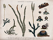 Lycoperdon [exploding puffball mushrooms] (Right) and Lycopodium [ground pines or creeping cedars] (Left) colour Copperplate engraving From the Encyclopaedia Londinensis or, Universal dictionary of arts, sciences, and literature; Volume XIII;  Edited by Wilkes, John. Published in London in 1815