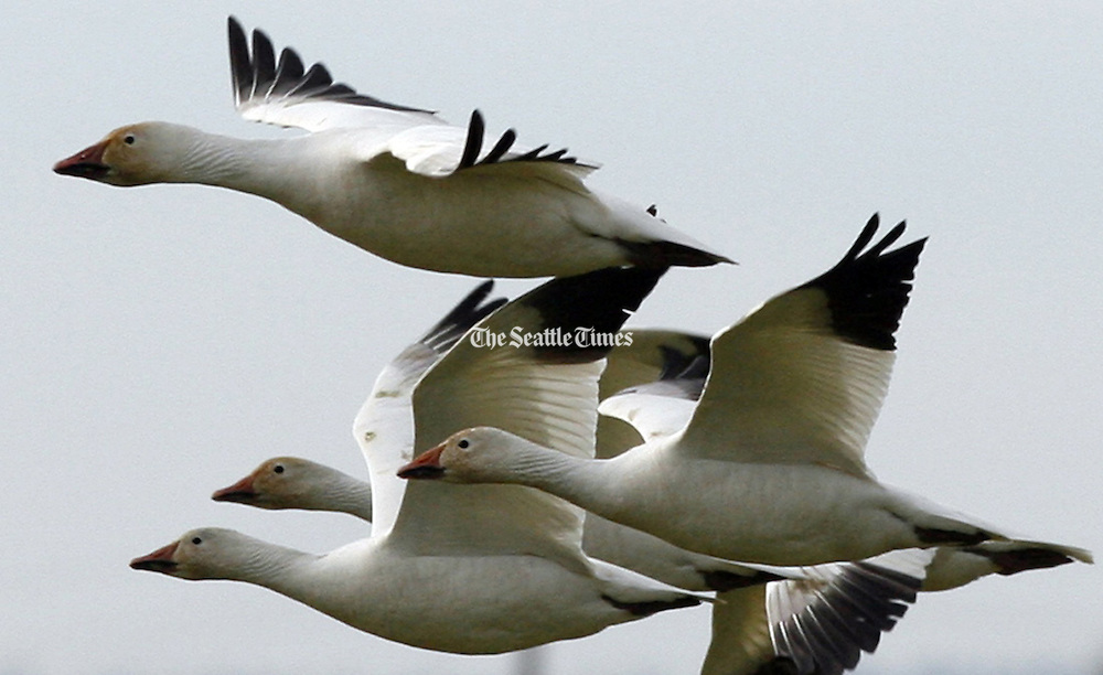 Snow geese fly in formation along Fir Island Road west of Conway (Skagit Country) above the fields where they winter.  (Alan Berner / The Seattle Times)
