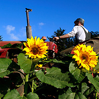 A wall of sunflowers frames Tyson Neukirk as the second year apprentice tills a field of broccoli and beets at the UC Santa Cruz Farm.<br /> Photo by Shmuel Thaler <br /> shmuel_thaler@yahoo.com www.shmuelthaler.com