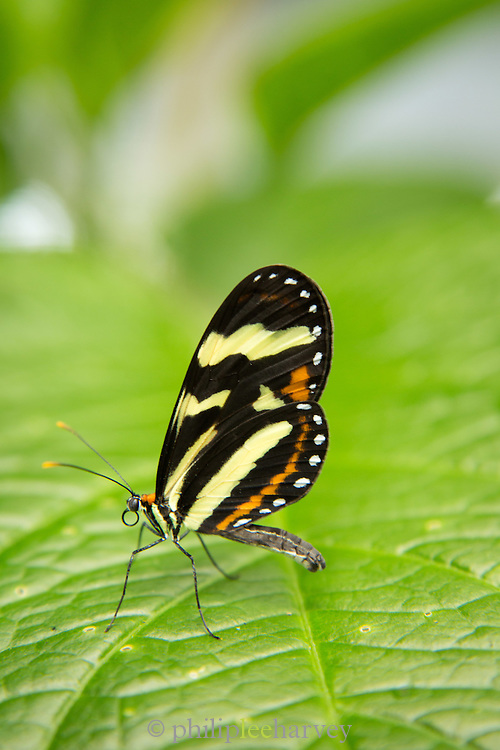 Close-up of Heliconius Butterfly Species (Captive)