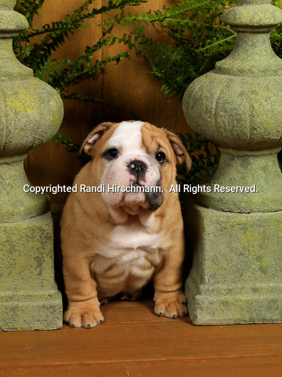 Bulldog, AKC, 7-week-old puppy photographed at Randi's studio and owned by Billy and Miranda Daniell of Palmer, Alaska.  (Pet Release)
