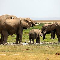 Africa, Kenya, Amboseli. A gathering of Elephants at Amboseli.