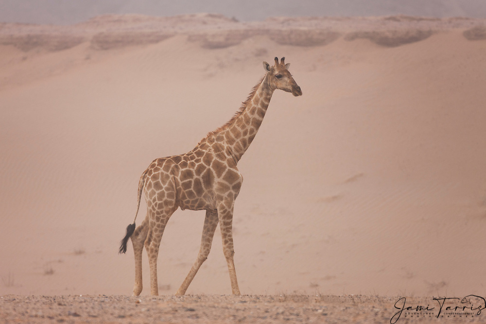 Thought by scientists to be a distinct sub-species, Namibia's desert-adapted giraffe's (Giraffa camelopardalis giraffe) daily movement exceeds that of other giraffes in more temperate climates due to their vital survival strategy that requires them to constantly search for moisture and nutrient-rich seasonal food, Skeleton Coast, Namibia
