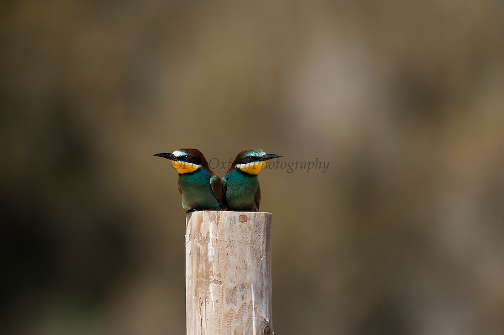 European Bee-eaters (Merops apiaster)<br /> Breed in Southern Europe & North Africa & Western Asia. It is strongly migratory wintering in tropical Africa, India & Sri Lanka. They feed on insects, mainly bees, wasps and hornets caught on the wing. Eat up to 250 bees a day, removing sting by hitting them repeatedly on the ground. They nest on sandy banks usually near water.<br /> Doñana National & Natural Park. Huelva Province, Andalusia. SPAIN<br /> 1969 - Set up as a National Park<br /> 1981 - Biosphere Reserve<br /> 1982 - Wetland of International Importance, Ramsar<br /> 1985 - Special Protection Area for Birds<br /> 1994 - World Heritage Site, UNESCO.<br /> The marshlands in particular are a very important area for the migration, breeding and wintering of European and African birds. It is also an area of old cultures, traditions and human uses - most of which are still in existance.