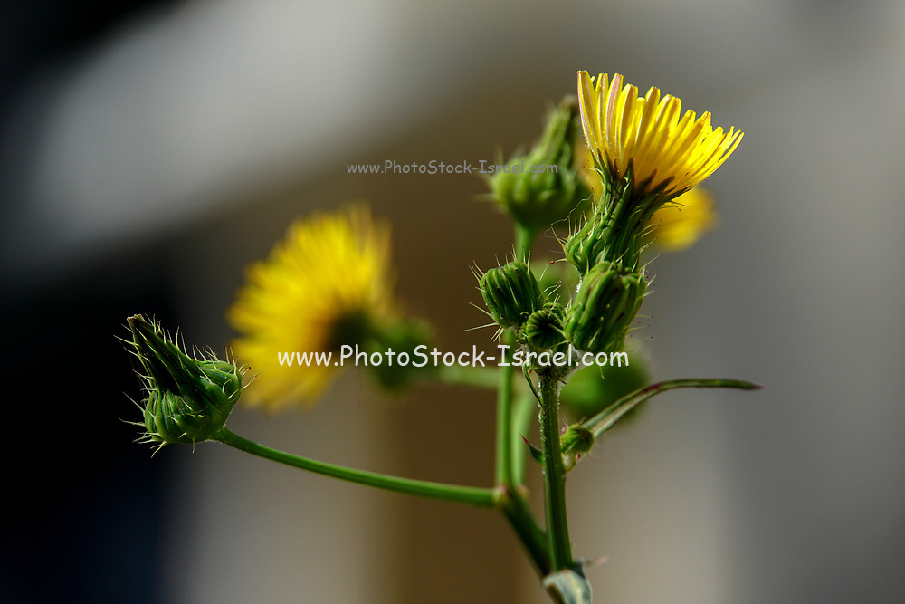 Yellow flower from the Senecio family
