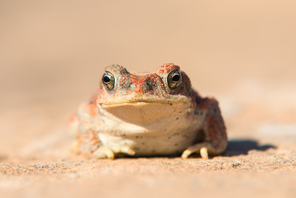 Close-up of a red-spotted toad, one of the few amphibians found in the deserts and plains of the American Southwest. Because water is scarce in these areas, they can be often heard after a heavy rain as a piercing high-pitched trill that means the males are calling for females, as breeding opportunities are few and far between. Eggs are laid singly and fertilized, and will hatch within hours. Six to eight weeks later, the tadpoles (if they survive and the water lasts long enough) will reach adulthood.
