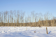 Chester, New York - A row of trees in a wetland area at Goosepond Mountain State Park on March 9, 2013.