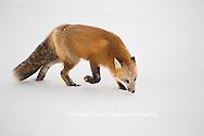 01871-02916 Red Fox (Vulpes vulpes) at Cape Churchill, Wapusk National Park, Churchill, MB