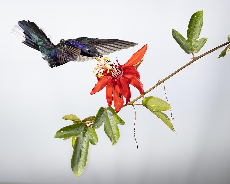 Campylopterus hemileucurus,  <br /> Costa Rica, June 2021