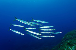 Sphyraena sphyraena, Mittelmeer oder Europaeischer Barrakuda, European Barracuda, Gozo, Malta, Sued Europa, Mittelmeer, Mare Mediterraneum, South Europe, Mediterranean Sea