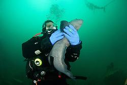 Anarhichas lupus, Gestreifter oder Atlantischer Seewolf und Taucher, Atlantic wolffish and scuba diver, Akureyri, Eyjafjord, Groenlandsee, Nord Island, Eyafiord, Greenland Sea, North Iceland, MR yes