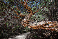 Textured twisted trunk of a tree near Tidal River, Wilsons Promontory, Victoria, Australia.