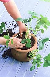 Planting up a strawberry planter