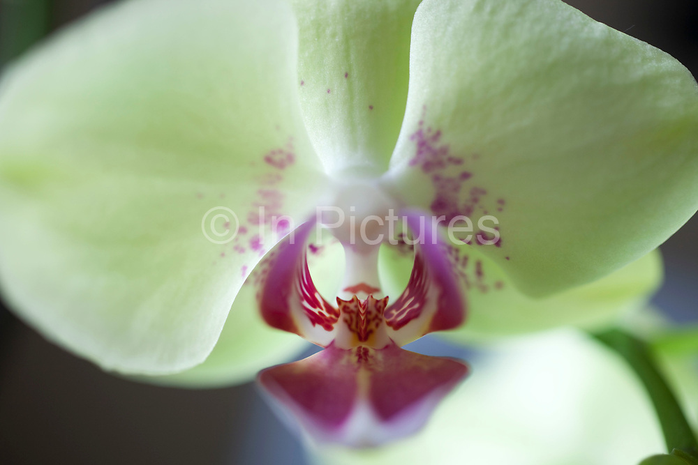Close up of an orchid flower. The blooms constituent parts can all be seen: The petals, sepal, stigma, lip and anther.