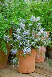 Rosmarinus officinalis Prostratus Group in a terracotta pot - rosemary