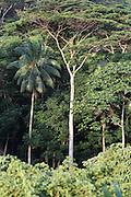 Forest: Eucalyptus trees and indigenous species, at sunset, near the coast on the presque-ile, Tahiti, French Polynesia<br /> <br /> Un nouveau regard sur la Polynesie Francaise. Dynamisation, collaborations, innovation, developpment resources, economie, entreprises et organismes polyesiennes, endemisme terrestre et marin, biodiversite, biomolecules, biotechnologies, endemisme terrestre et marin, energies renouvelables, preservation durables, climat tropical, alternatives a l'utilisation de produits chimiques, transformation agroalimentaires, usages traditionnels des plantes, utilisation des plantes endemiques en cosmetique et en medecine, aquaculture performante et durable, valorisation des dechets, outre mer et la zone pacifique, technologies innovantes, synergies, culture, traditions, technologique et scientifique, collaborations, stimulation, production et realization, protection, transformation, diversite, pharmocopee, experimentation, autonomie, espace naturels et eco-tourisme,