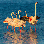 Flamingos are a type of wading bird in the genus Phoenicopterus, the only genus in the family Phoenicopteridae. There are four flamingo species in the Americas and two species in the Old World. Flamingos often stand on one leg, the other leg tucked beneath the body. The reason for this behaviour is not fully understood. Recent research indicates that standing on one leg may allow the birds to conserve more body heat, given that they spend a significant amount of time wading in cold water. However, the behaviour also takes place in warm water. As well as standing in the water, flamingos may stamp their webbed feet in the mud to stir up food from the bottom.