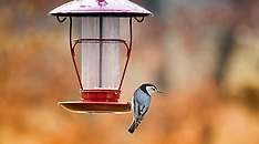 Feeder - White-Breasted Nuthatch