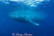 blue whale ( Balaenoptera musculus )<br /> Endangered Species<br /> California ( Eastern Pacific Ocean )