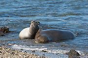 Hawaiian monk seal, Neomonachus schauinslandi, formerly Neomonachus schauinslandi ( Critically Endangered, endemic species ), 8-9 year old female ( RI25 ), and 6 week old pup ( RN02 or Kamilo ) napping and cuddling, Kaiole Bay, near Kamilo Point, Ka'u, Hawaii ( the Big Island )
