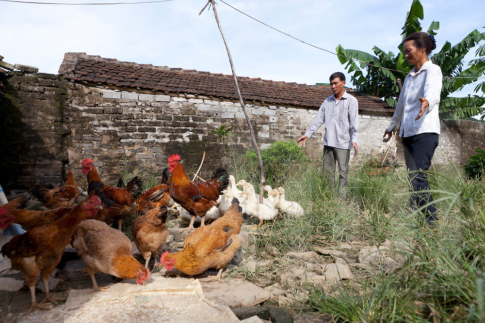 Free range chickens, roosters and ducks in Yen Mo District, Ninh Binh Province, Vietnam, Southeast Asia