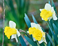 Daffodil. Image taken with a Leica SL2 camera and 90-280 mm lens.