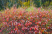 Dogwood in autumn foliage<br /> Lake Superior Provincial Park<br />