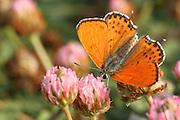 Lesser Fiery Copper (Lycaena thersamon) Butterfly shot in Israel, Summer August