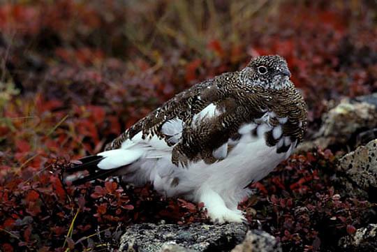 Rock Ptarmigan, bird on blazing tundra, feathers turning white for winter season. Denali National Park. Alaska.