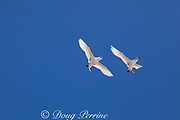 red-tailed tropicbird, or red tailed tropic bird, Phaethon rubricauda rothschildi, pair in courtship flight, dance, or display, Sand Island, Midway, Atoll, Midway Atoll National Wildlife Refuge, Papahanaumokuakea Marine National Monument, Northwest Hawaiian Islands,  ( Central North Pacific Ocean )