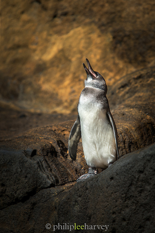 Galapagos penguin on Isabela Island. No other penguin species lives north of the equator, and when on land they have to pant to cool down in the tropical sun. Galapagos Islands, Ecuador
