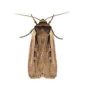 73.330 (2102a)<br /> Radford's Flame Shoulder - Ochropleura leucogaster