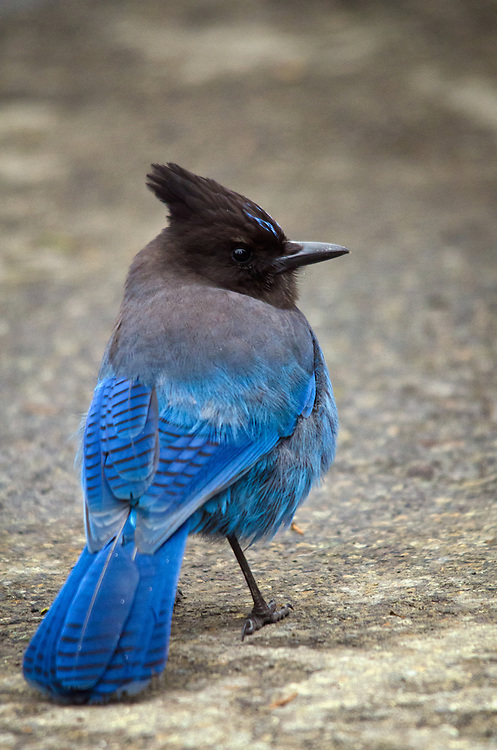 The provincial bird British Columbia, Canada - the very intelligent Stellar's jay is a close relation to crows, magpies and ravens.