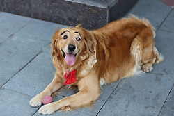 June 21, 2017 - Shenyang, Shenyang, China - Shenyang, CHINA-June 21 2017: (EDITORIAL USE ONLY. CHINA OUT) A golden retriever with painted eyebrows attracts many people's attention on street in Shenyang, northeast China's Liaoning Province, June 21st, 2017. Owner of the golden retriever says that the adorable dog is 8 years old. (Credit Image: © SIPA Asia via ZUMA Wire)
