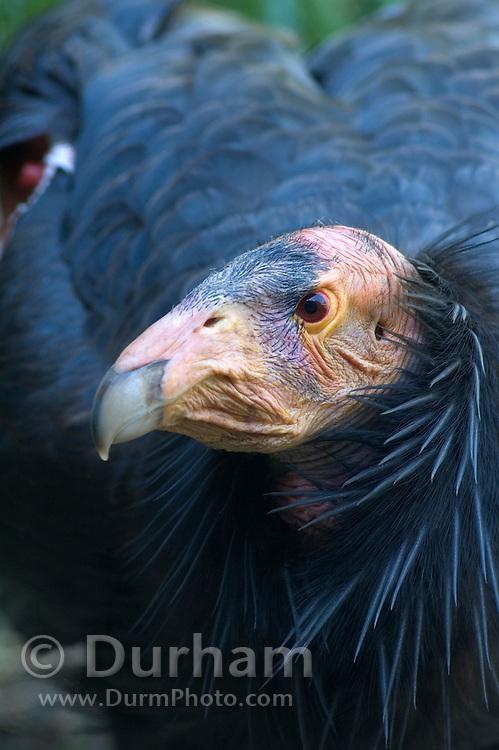A California condor (Gymnogyps californianus) portrait near the Big Sur coast, California.