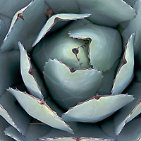 An agave(?) plant grow in a xeriscape garden in Bishop, California.