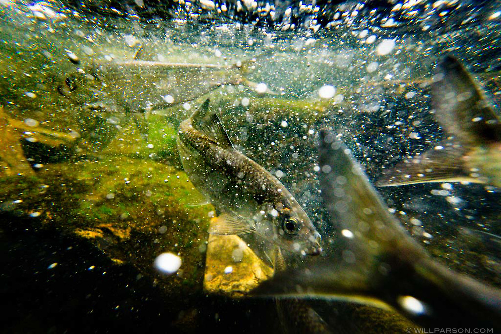 """Alewife swim against the current where thousands of herring gather to spawn in a tributary of the Chesapeake Bay in Cecil County, Md., on April 20, 2017. River herring like the alewife and the American shad are anadromous fish that live off the Atlantic coast as adults but journey into freshwater to spawn every spring. Often that journey ends at dams that have cut off thousands of miles of stream habitat. """"Last month they were out in the Atlantic ocean somewhere,"""" said Jim Thompson, a fisheries biologist with the state of Maryland. """"That's why it's really important to build these (fish) ladders or take these dams out to get them over that last little speed bump so they can spawn."""" (Photo by Will Parson/Chesapeake Bay Program)"""