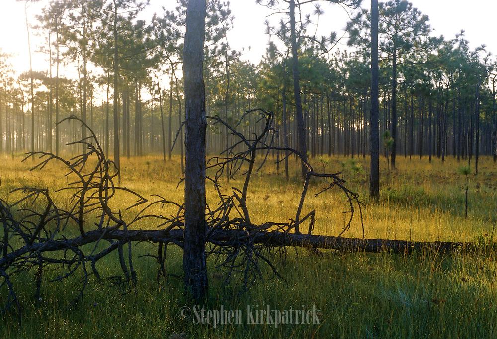 Sunrise on pine savannah - Grand Bay N.W.R., Mississippi