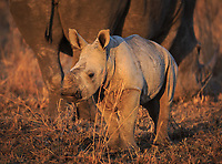 A baby white rhinoceros, Ceratotherium simum, standing in front of its mother, in sunset light.