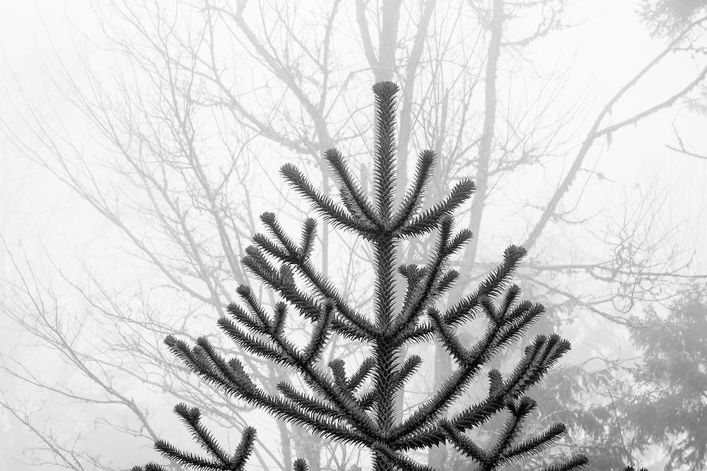 Monkey tree, fog, private residence, Clallam County, Washington, USA