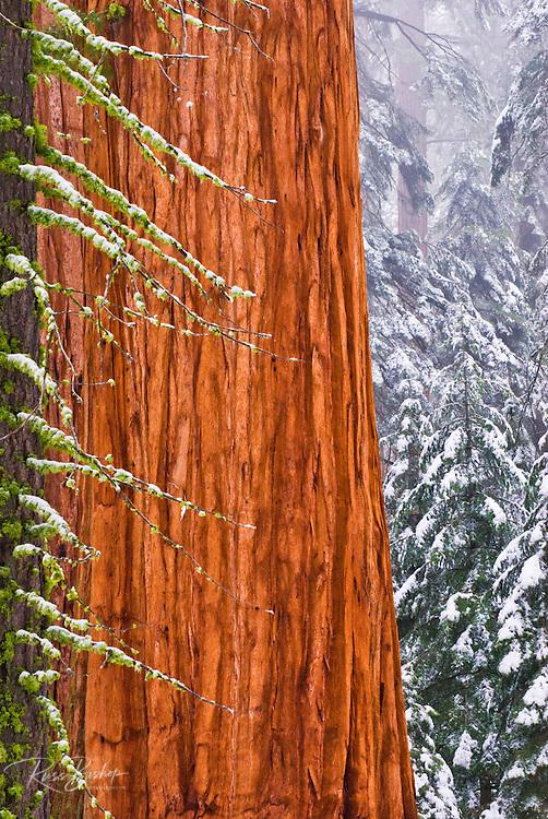 Giant Sequoia (Sequoiadendron giganteum) in winter, Giant Forest, Sequoia National Park, California