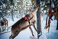 Reindeer eating lichen off a tree