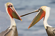 Brown Pelicans in full breeding colors (Pelecanus occidentalis) La Jolla, California