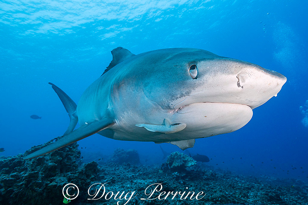 tiger shark, Galeocerdo cuvier, with remora or sharksucker attached to lower jaw, and nictitating membrane or eyelid partially covering eye to protect it; shark has slight injury to eye socket, revealing more of nictitating membrane than would normally be visible; Honokohau, Kona, Big Island, Hawaii, USA ( Central Pacific Ocean )