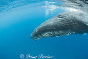 humpback whale, Megaptera novaeangliae, adult female approaches for a close look, A'u A'u Channel, off West Maui, near Lahaina, Hawaii, Hawaii Humpback Whale National Marine Sanctuary, USA ( Central Pacific Ocean )