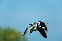 20.04.2009<br /> Barnacle Goose (Branta leucopsis) Apácalúd<br /> Nabu center Katinger Watt<br /> Eiderstedt, Germany