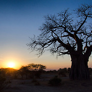 The outline of a baobab tree is framed against the sunset as the sun disappears behind the horizon at Tarangire National Park in northern Tanzania not far from Ngorongoro Crater and the Serengeti.