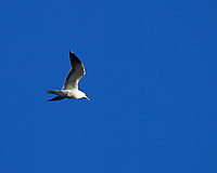 Herring Gull. Viewed from the deck of the MV Explorer. Image taken with a Nikon Df camera and 70-200 mm f/4 VR lens.